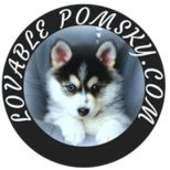 Pomsky puppies for sale, Pomsky the most adorable puppy. If you are looking for a perfect Pomsky we can help, whether you are living in New York , Miami , Chicago or Los Angeles we can get you the most lovable Pomskys available!