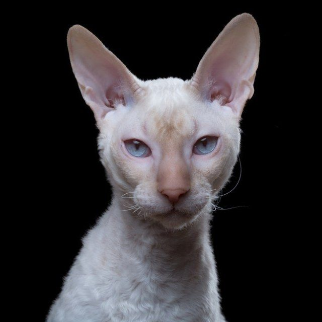 17 Breeds of Cat That Are All Beautiful - We Love Cats and Kittens ~ 6. Cornish Rex