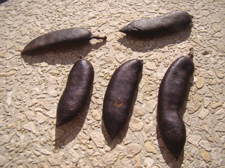 """""""Os frutos são vagens duras que amadurecem no inverno. Parte dos frutos cai, enquanto que uma boa quantidade ainda permanece na planta, formando um banco de sementes aéreo."""" por Raphael Borsoi"""