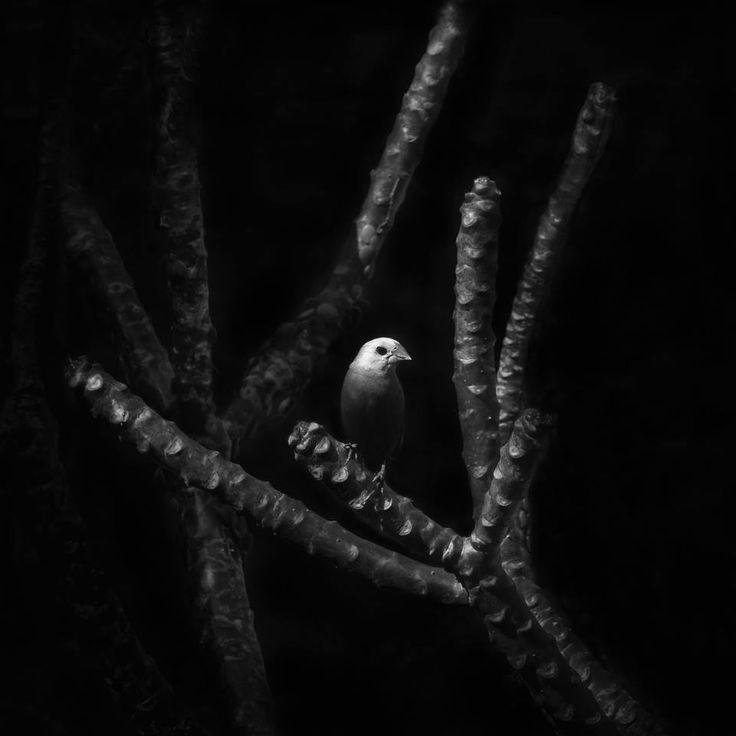 Aimery Joëssel HERITAGE #37 White-headed Munia (Lonchura maja)