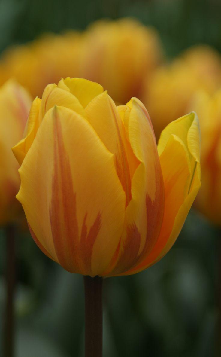 Best 200+ Beautiful Tulips - Dutch Garden World images on Pinterest ...