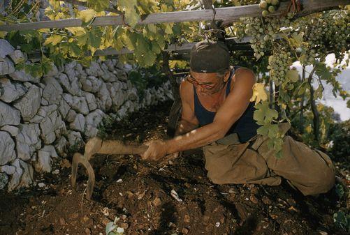 Man hoes soil in terraced hillside vineyard. Near Bakar, Croatia, Yugoslavia, 1950s.