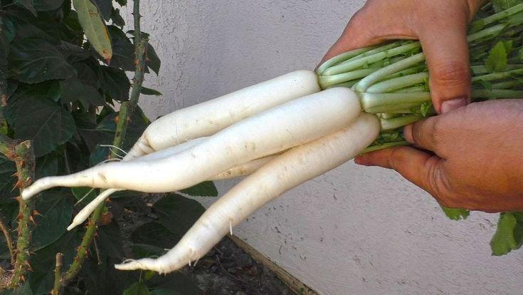 Radish Seeds - MINOWASE HYBRID - Daikon Type Radish - Easy to Grow - 100 Seeds #theseedhouse