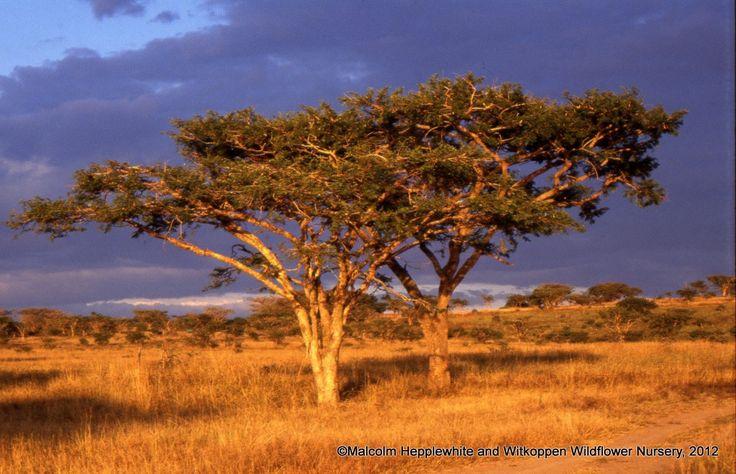 Acacia sieberiana in natural habitat at Spionkop Nature Reserve in the KwaZulu-Natal midlands.