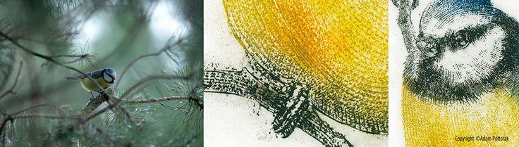 Cyanistes caeruleus #AdamPoltorak #EurasianBlueTit #bird