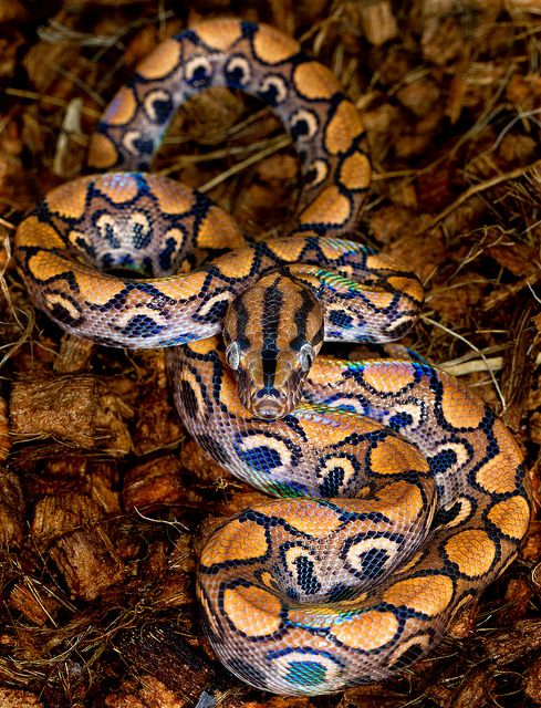 ~~Glow stick ~ Brazilian Rainbow Boa Constrictor by Oliver C Wright~~