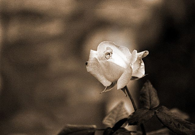 ROSE 3.1 | Flickr - Photo Sharing!