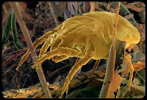 The 25+ best Dust mite allergy ideas on Pinterest