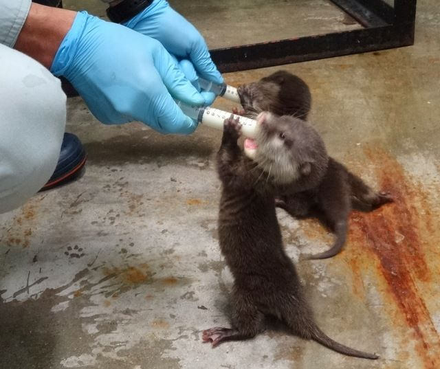 A Squeaky Baby Otter Drinks Milk From a Syringe