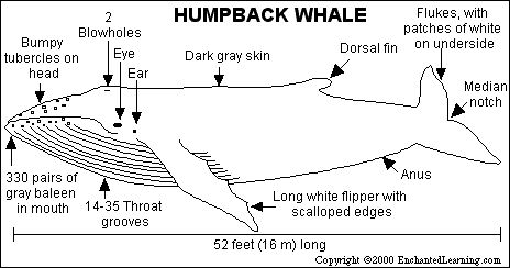 Humpback Whale Print-out with interesting facts about humpback whales