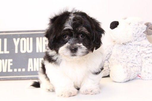 Zuchon puppy for sale in NAPLES, FL. ADN-30333 on PuppyFinder.com Gender: Female. Age: 13 Weeks Old