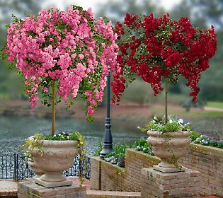 Breath-taking weeping cascade rose trees - striking, elegant, unforgettable.