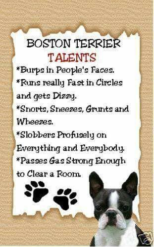 Boston Terrier Talents