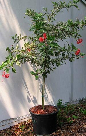 Weeping Hibiscus Tree | Snow Queen | Favorite flowers ...