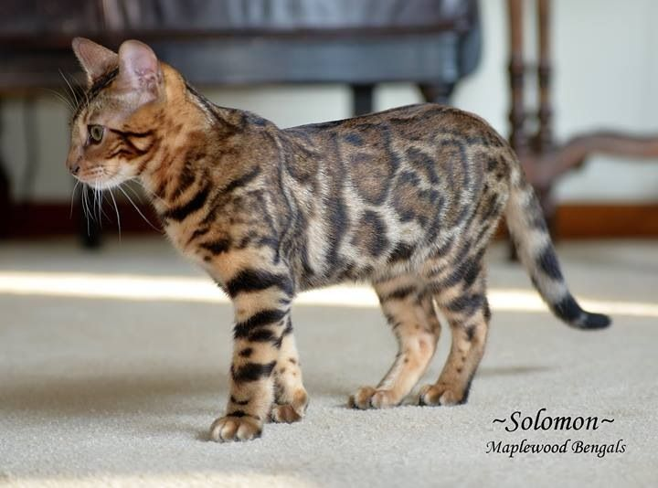 Bengal Cat. Hypoallergenic.  Thinking of getting me one.