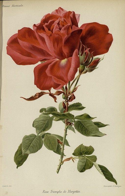 SNHF | Rose Triomphe de Margottin