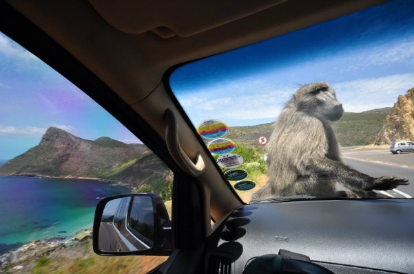 Watch out for these guys. The baboons of the Western Cape are acclimated enough to humans that they'll leap into open cars and steal bags, hunting for food.