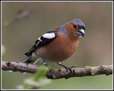 Male Chaffinch. British garden bird.