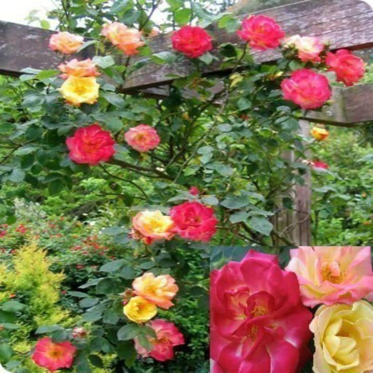 Fragrant climbing rose masquerade yellow pink red flowers climbing pink and flower - Climbing plants that produce fragrant flowers ...