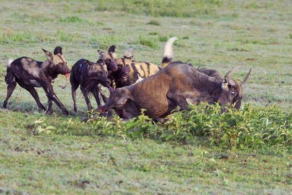 Een troep wilde honden in de Ngorongoro Conservation Area heeft een blauw wildebeest te pakken. Een heftig gezicht.