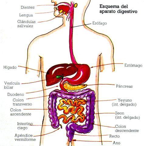 Resultado de imagen para sistema digestivo humano y sus nombres a colores