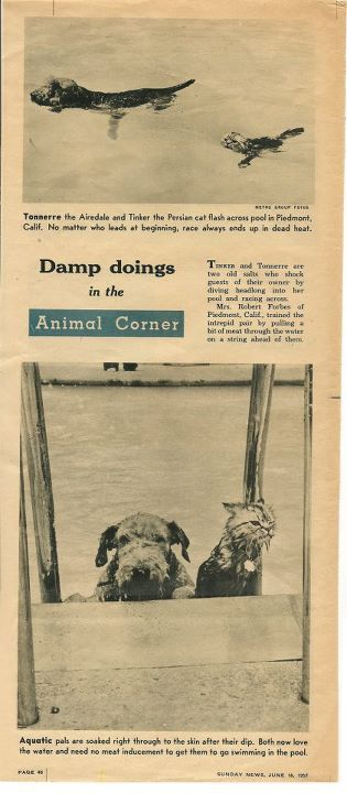 Damp Doings: Aquatic Pals, Tonmerre the Airedale Terrier and Tinker the Persian Cat owned by Mrs Robert Forbes of Piedmont, CA