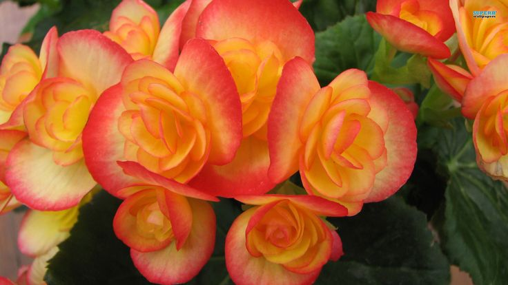 440 Best Images About Beguiling Begonias On Pinterest