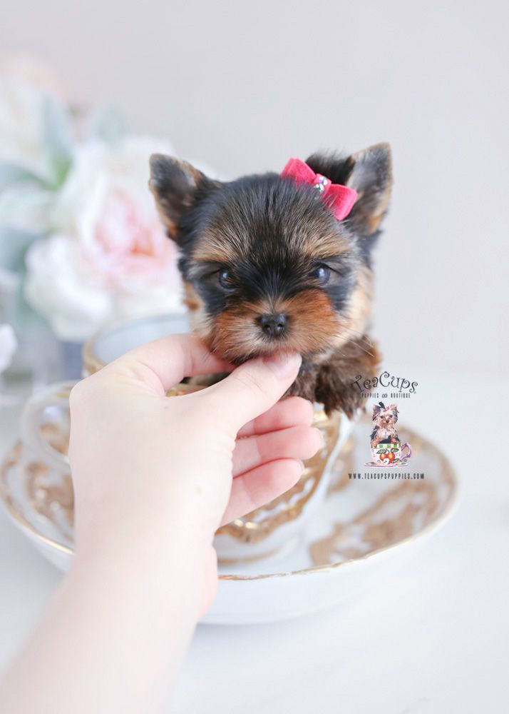 Teacup Yorkie Yorkie Yorkshireterrier Yorkies Puppy Puppies Dog Doglovers Teacupyorkie Teacupyorkies Teacuppupp Yorkie Puppy Teacup Puppies Yorkie
