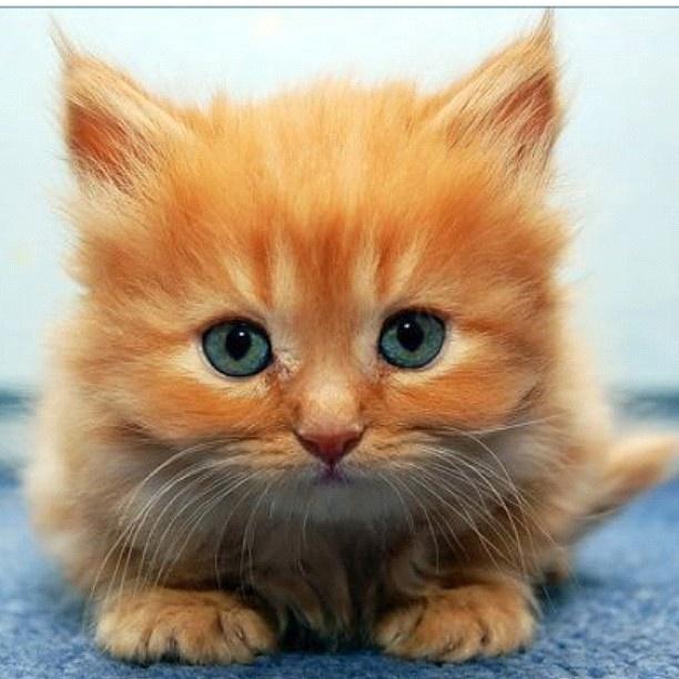 Fluffy orange kitten.... Nawwww! | Orange kittens! | Pinterest  |Fluffy Orange Kittens