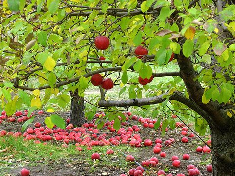 Home Orchard Advice: DIY Home Orchard The beginner's guide to growing your own fruit!