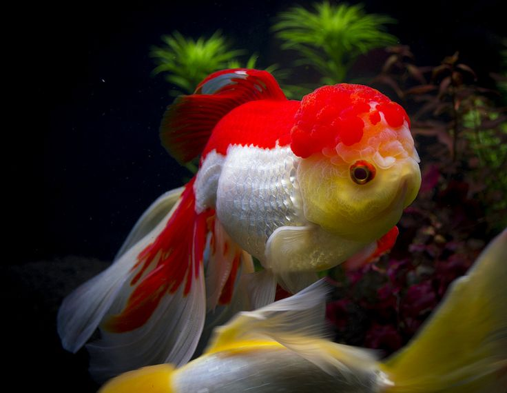 17 best images about adorable goldfish and koi and ponds for Koi tank size
