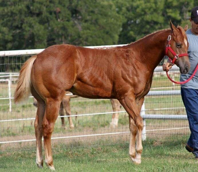 Cuarto de milla | caballos | Pinterest | Horses, American quarter ...