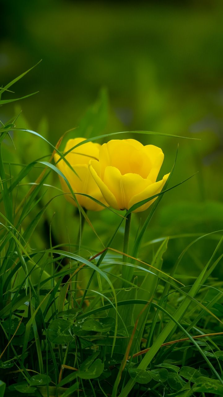 Download 720x1280 Wallpaper Grass Yellow Tulips Bloom Samsung