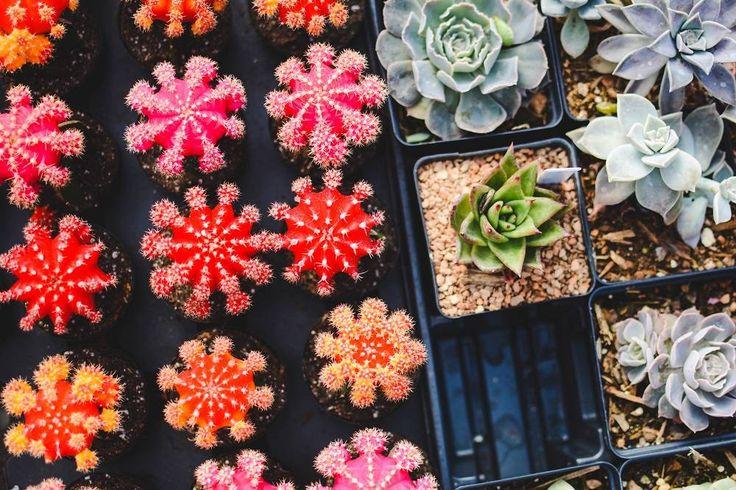 Sukulenty  rośliny dla leniuchów