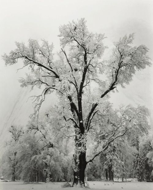 Ansel Adams, Oak Tree, Snow Storm, Yosemite, from ...