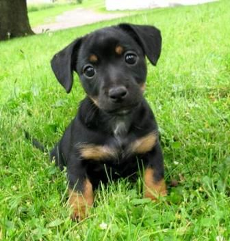 "Black and Tan Jack Russell Puppy from Aislinge Bray Terriers  Aislinge Bray Terriers, home of the Irish Black and Tan Jack Russell Terrier; hailing from ancient Irish lines whose origin trace back to Pre- ""white coated"" Jack Russells."