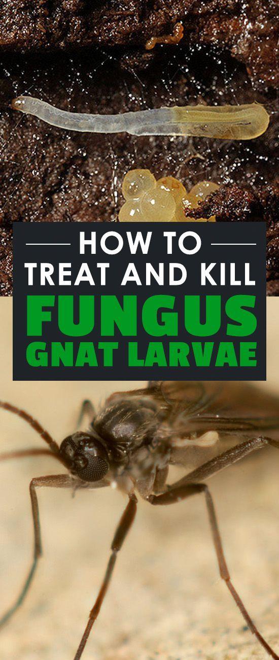 How to Treat and Kill Fungus Gnat Larvae   Epic Gardening