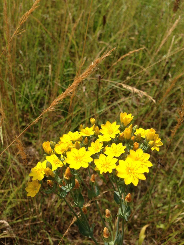 Yellow-wort, Blackstonia perfoliata. Of the gentian family like centaury