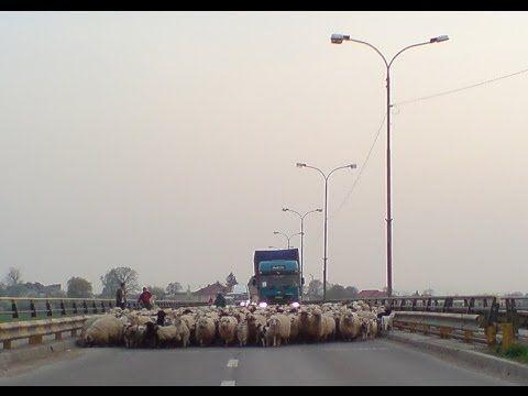 A herd of sheeps block a bridge