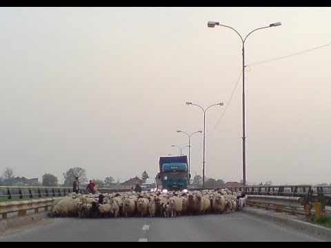 A herd of sheeps block a bridge