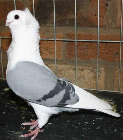 Rose Glen North Dakota ⁓ Try These Satinette Pigeon Price In