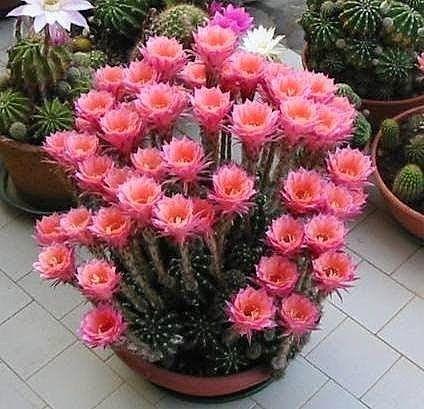 "Cactus.   (""Google+yummy Flowers !!!!!!!!!!!"")"