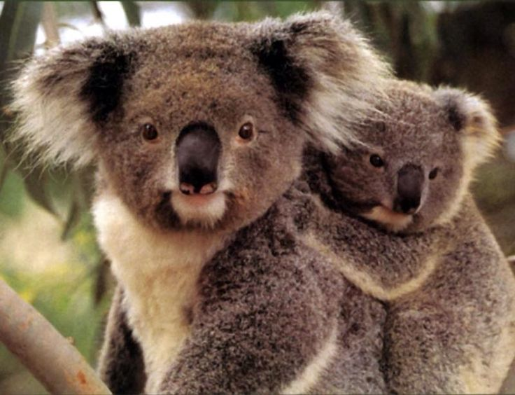 best koala images koala bears koalas and  protect these two honeys
