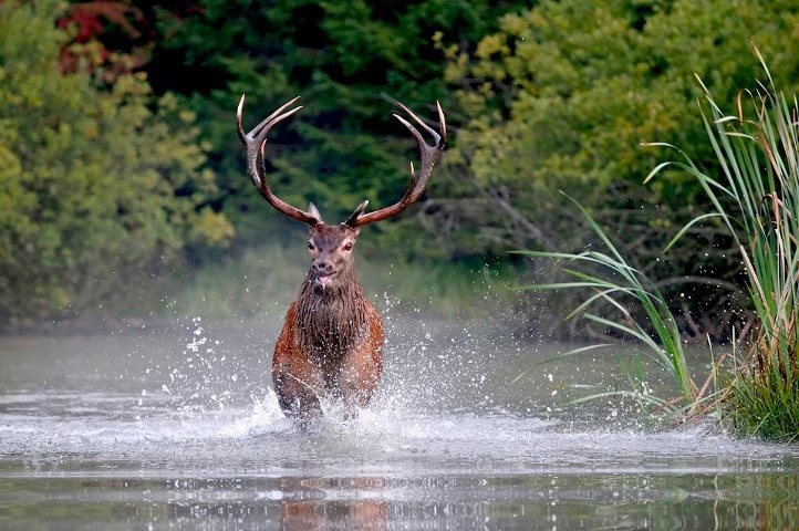 The perfect hunt- red stag in New Zealand