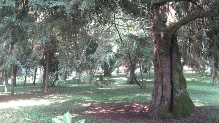 pinus farm in boscha...
