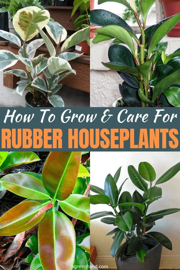 How To Grow And Care For Rubber Houseplants Rubber Plant Plants