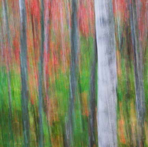 Birches in Maples by Eddie Soloway