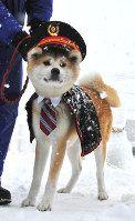 初の犬っこ駅長を務めた秋田犬の「ふくちゃん」=秋田県湯沢市で2017年2月11日、佐藤伸撮影