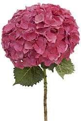 Pro hortenzie jsou charakteristické nádherné květy větších rozměrů nejrůznějších barev a typů. Jedna z nejoblíbenějších rostlin zahrádek vám bude přinášet pouze radost, dokážete-li si s ní poradit. Jak na to?