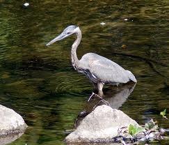 How to keep you pond free from predators love those koi for Koi fish predators
